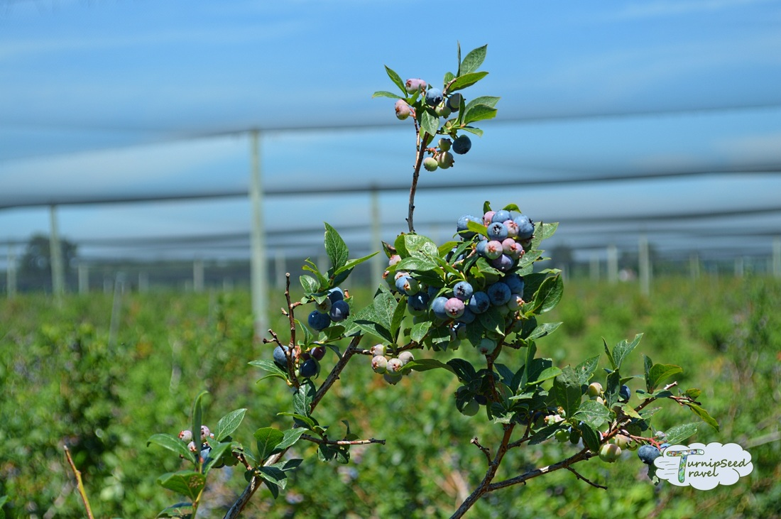 Parks Blueberry Chatham Kent