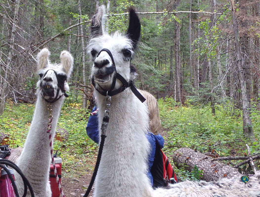 Two white llamas, hiking in a Montana forest with humans partially visible behind them. Picture